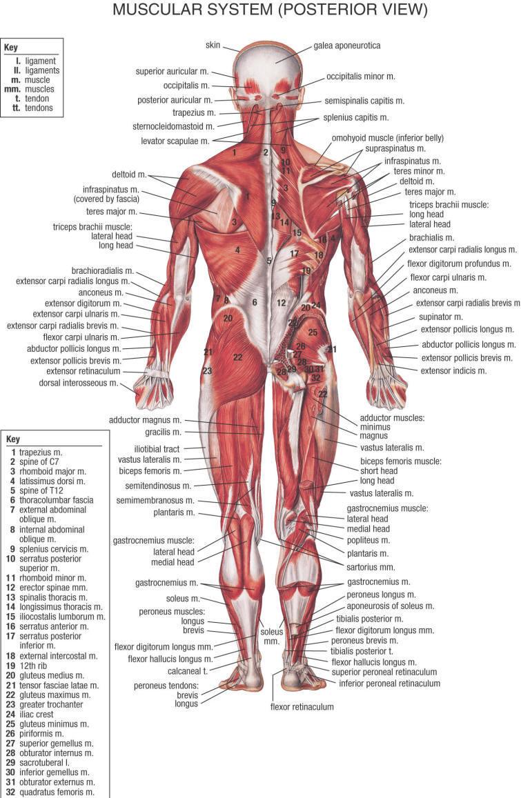 Synthol Injektionen: Wie Synthol für größere Muskeln zu injizieren ...